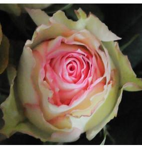 Roses Espereance